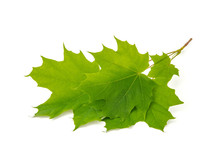 Green Leaf Tree Crown With Pointed Tips On Ends On White Background