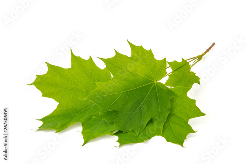 Fotografie, Obraz  Green leaf tree crown with pointed tips on ends on white background