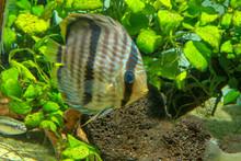 Heckel Discus (Symphysodon Discus) Elegant And Graceful Cichlid Living In Planted Aquarium