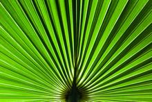 A Fan Shaped Palm Leaf Radiate...