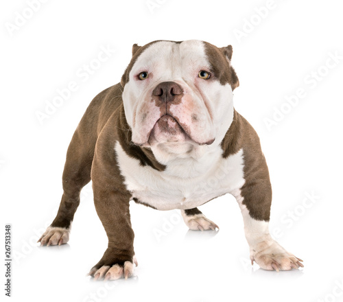 Canvas Prints Amsterdam american bully in studio