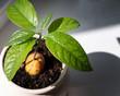 Leinwandbild Motiv Growing avocado seed with green leaves