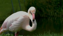 A Flamingo Stands Facing Right, Turns Its Head Toward Its Back And Scratches Between Its Wings.