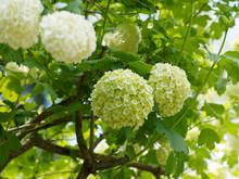 Guelder Rose Or Snowball Tree - Spring Bloom Viburnum Snowball Bush (Viburnum Opulus 'Roseum')
