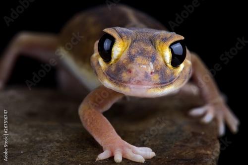 Photographie  Pernatty knob-tailed gecko (Nephrurus deleani)