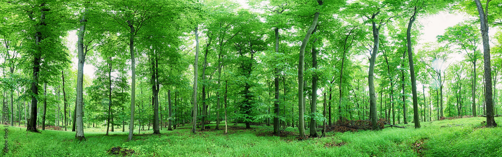 Fototapety, obrazy: Green forest panorama at rain
