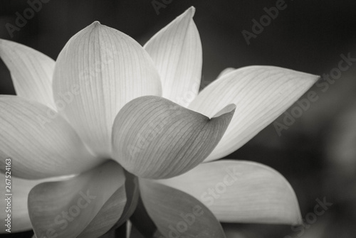 Nénuphars lotus flower on the pond at sunny day.Black and white colower of Lotus flower.
