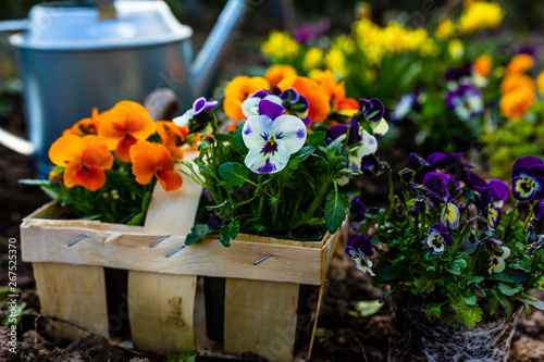Papiers peints Pansies The spring colorful flowers ready for planting.
