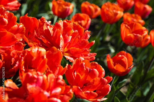Foto op Canvas Cappuccino Beautiful bouquet of tulips nature background.