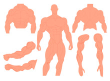 Muscles Anatomy Of A Human Bod...