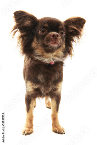 brown long hair chihuahua isolated - Buy this stock photo