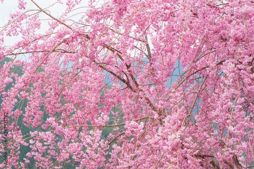 Tuinposter Candy roze しだれ桜 春 花 高見の郷 奈良県 2019年4月
