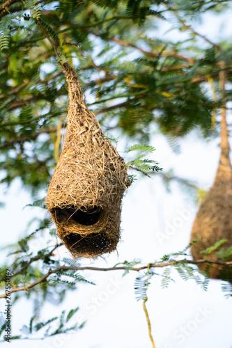 Birds Nest on the Tree Wallpaper Mural
