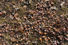 Bunch Of Acorns On The Ground