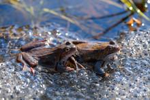 Two Common Frogs (Rana Tempora...