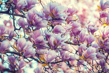 Vintage Blossoming Magnolia Tree In The Park. Springtime