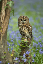 Tawny Owl Perched On A Tree St...