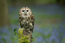 Tawny Owl Perched On A Post With Bluebell Wood In The Background.