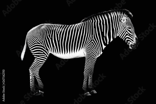 Keuken foto achterwand Zebra Zebra on black background