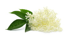 Blossoming Elder, Elderberry With Flowers And Leaves Isolated On White Background