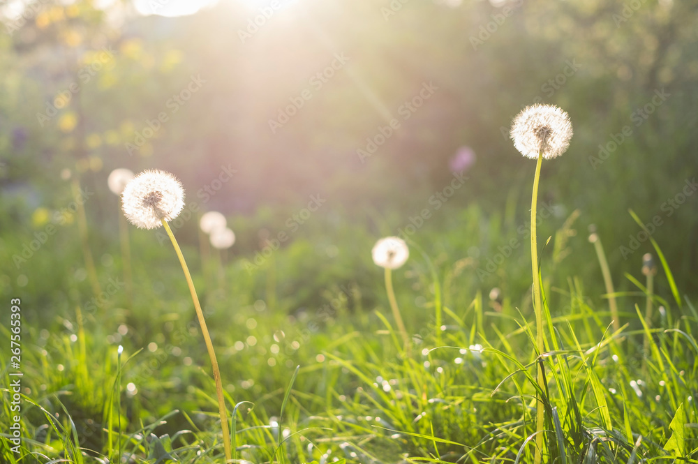 Fototapety, obrazy: grass and dandelions background in the sunshine during sunset.