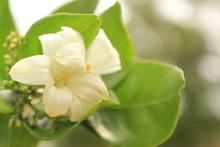Murrayya Exotica Jasmine (Murraya Paniculata) Flower In Garden.Also Known As Orange Jessamine, Jasmine Orange,Chinese Box, Mock Orange, Mock Lime, Satinwood, Lakeview Jasmine.
