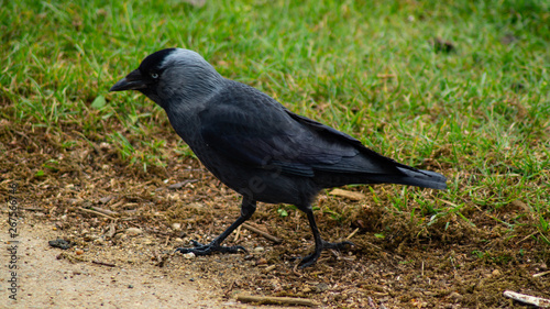 Photo  Close up of single jackdaw