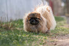 Pekingese On The Grass In The Field