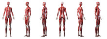 3d Rendered Medically Accurate Illustration Of A Womans Muscle System