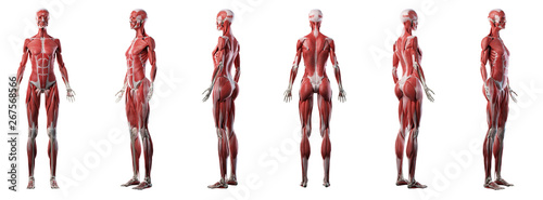 Fototapeta 3d rendered medically accurate illustration of a womans muscle system obraz