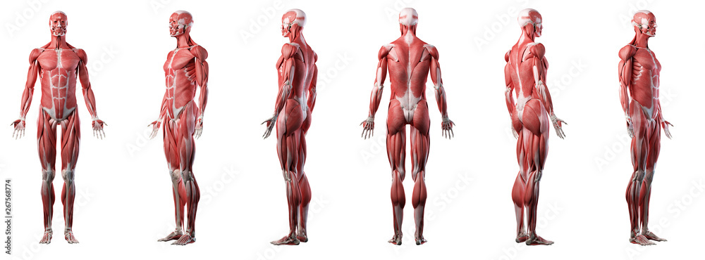 Fototapeta 3d rendered medically accurate illustration of a mans muscle system
