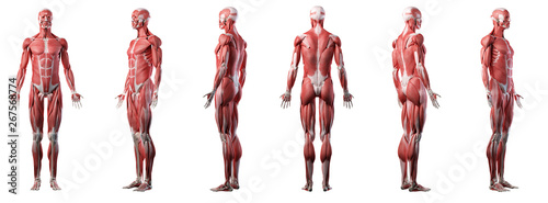 Fényképezés 3d rendered medically accurate illustration of a mans muscle system