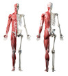 canvas print picture - 3d rendered medically accurate illustration of the front and back of a mans muscle system