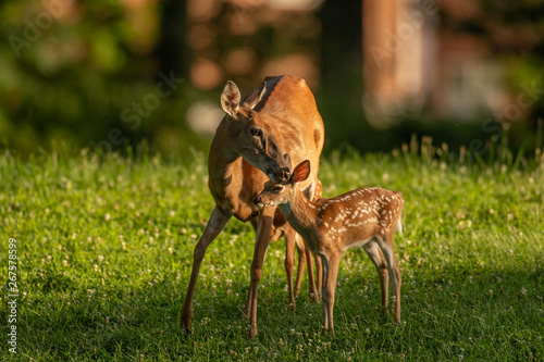 White-tailed deer fawn and doe Poster Mural XXL