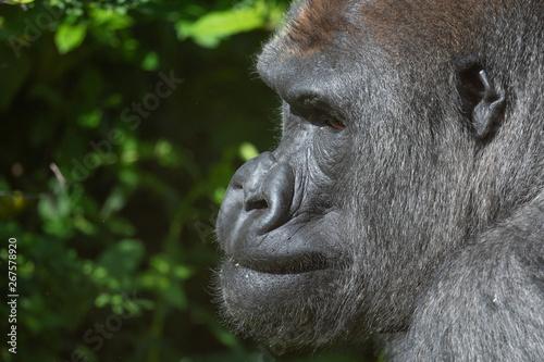 Valokuva Captive western lowland gorilla