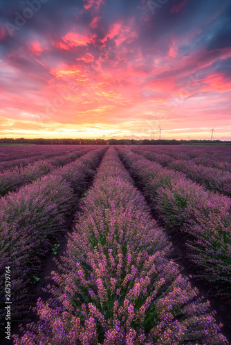 Valokuva  Lavender field at sunrise / Stunning view with a beautiful lavender field at sun