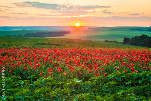 Wall Murals Beige Poppy field at sunset / Amazing view with a spring field and lots of poppies at sunset
