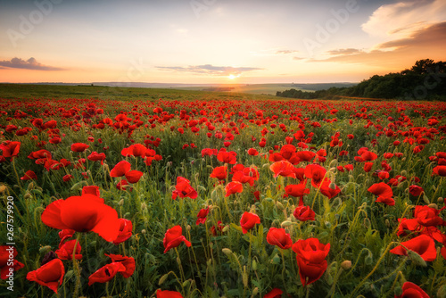 Fototapeta Poppy field at sunset / Amazing view with a spring field and lots of poppies at sunset obraz na płótnie