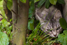 Beautiful Cat With Long Hair Outdoor In A Garden, Siberian Purebred Kitten Sniffing Under A Plant