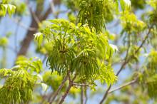 Pecan Blossom In A Nut Plantat...
