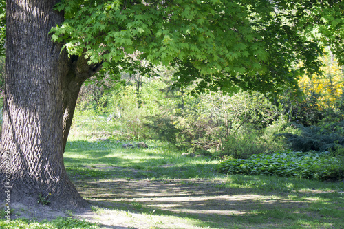 Fotografie, Obraz  A large maple tree with green leaves in the flowering period