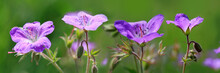 Geranium Meadow In Sunset Light. Flowers Background.