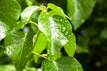 Tropical leaves with drops of water