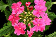 Pink Verbena Flowers Close Up