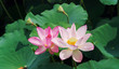 Leinwandbild Motiv blooming lotus flower in garden pond