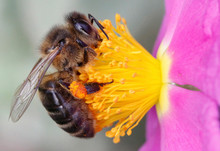 Close-up Of A Bee Pollinating A Flower, Majorca, Spain
