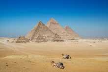 Two Camels In Front Of Giza Pyramid Complex Near Cairo, Egypt