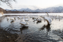 Whooper Swans In Lake With Mountains In Background
