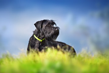 Giant Schnauzer Dog Portrait Against Dramatic Blue Sky