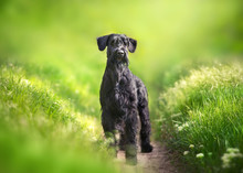 Giant Schnauzer Dog Standing On Green Park